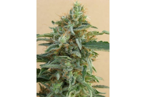 Tikal (ACE Seeds) feminized
