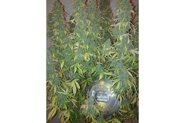 Big Bang Autoflowering (Greenhouse Seeds) feminized