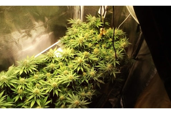 White Widow (Zamnesia Seeds) feminisiert