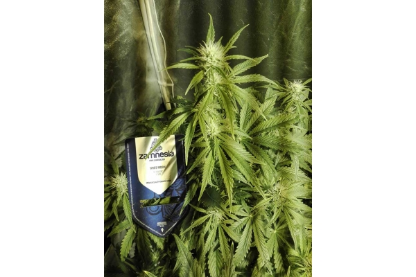 White Widow Automatic (Zamnesia Seeds) feminized