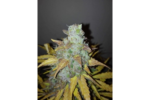 King's Kush Autofiorente (Greenhouse Seeds) femminizzata