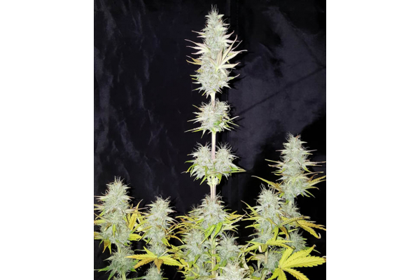 Monster Dwarf Automatic (Zamnesia Seeds) Feminisiert