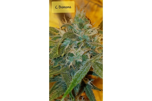 Banana (Zamnesia Seeds) Feminized