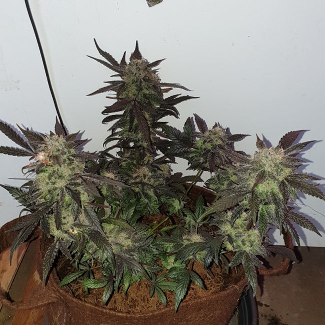 Monster Zkittlez (Zamnesia Seeds) feminized