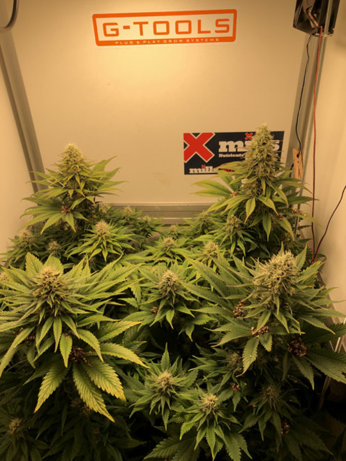 Purple Punch (Zamnesia Seeds) feminisiert
