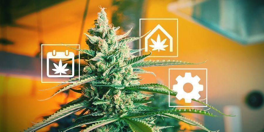 Tips For Growing Cannabis In The UK