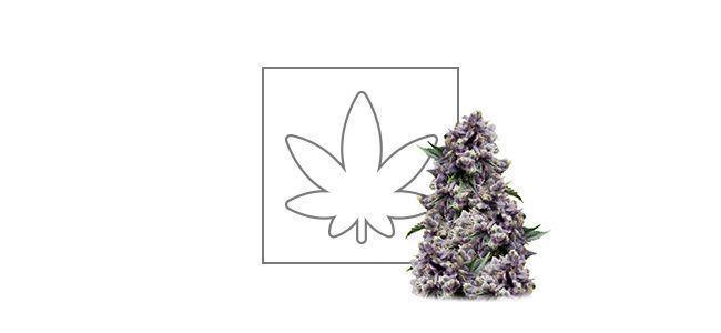 Purple (Pyramid Seeds) feminized