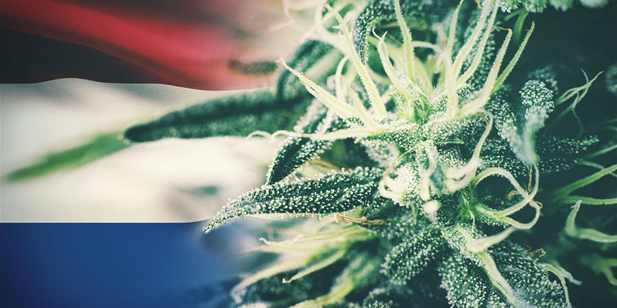 Best Cannabis Strains To Grow Outdoors In The Netherlands