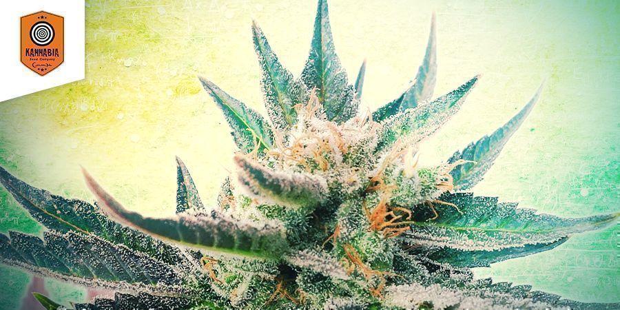 Sativa Dream (Kannabia)