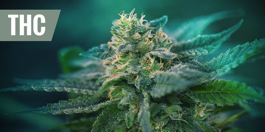 THE BEST THC STRAINS FOR PAIN RELIEF