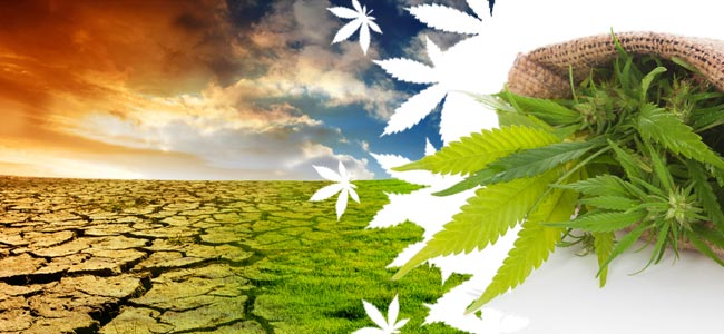 Global Impact Weed