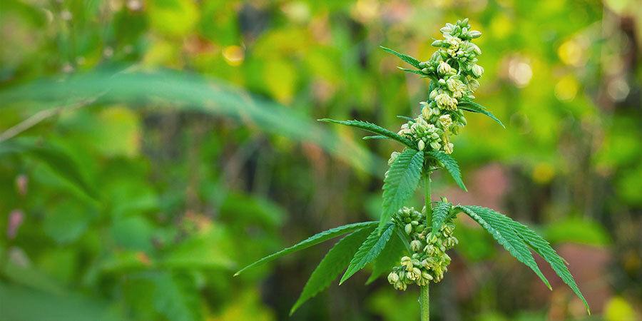 Male Cannabis Plants Pollinating Female Plants