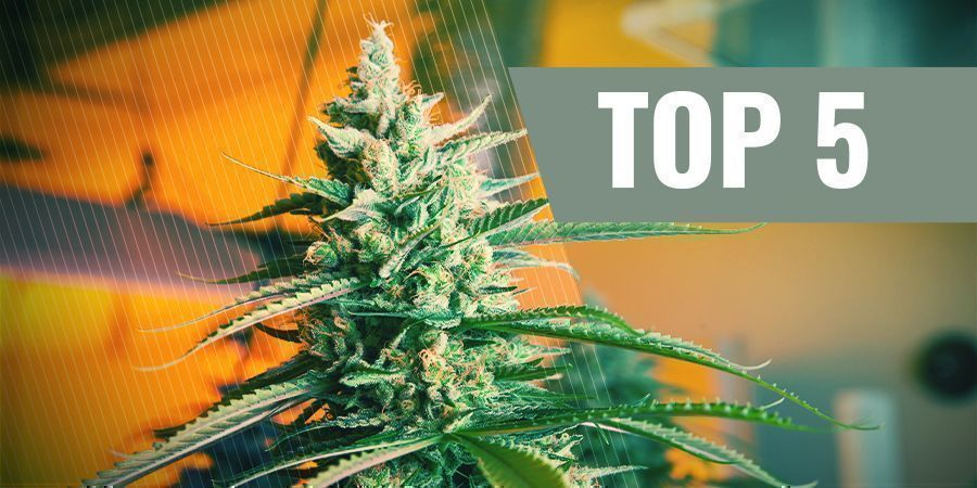 THE 5 BEST AUTOFLOWERING CANNABIS SEEDS FOR INDOOR CULTIVATION