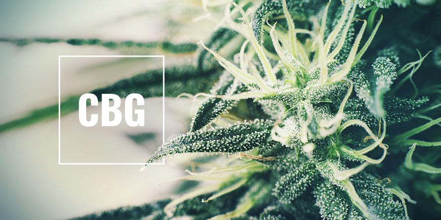 High-CBG Strains