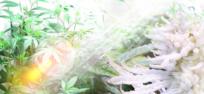 What Causes Albinism In Cannabis Plants?