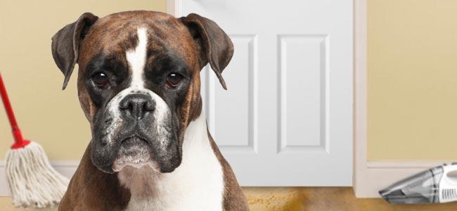 Irish Boxer dog
