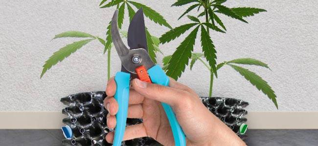 cropping the most potent marijuana