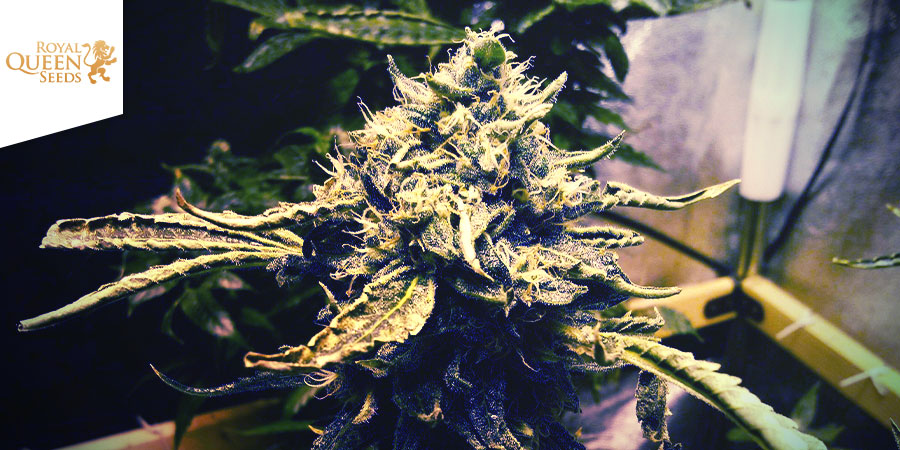 CRITICAL KUSH (ROYAL QUEEN SEEDS): CLASH OF THE TITANS