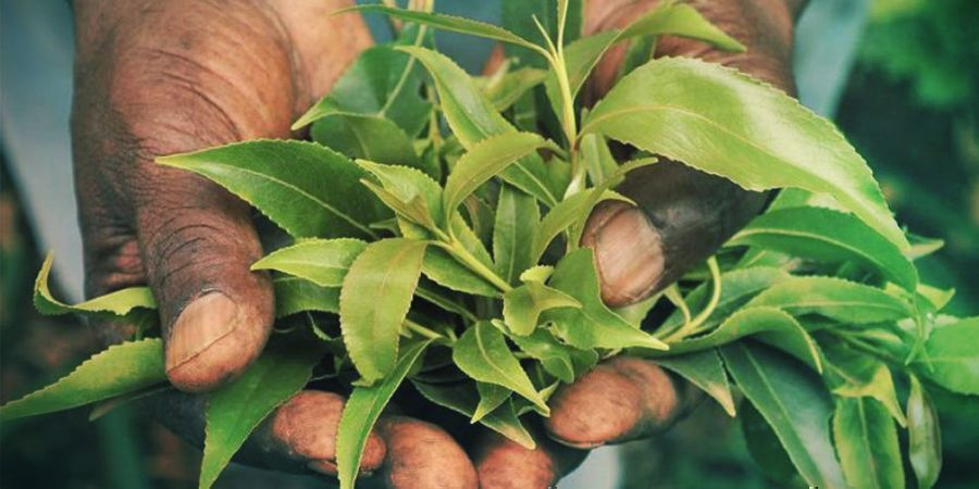 KHAT USAGE IN NATIVE COUNTRIES
