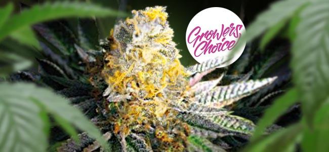 Gelato #41 (Growers Choice)