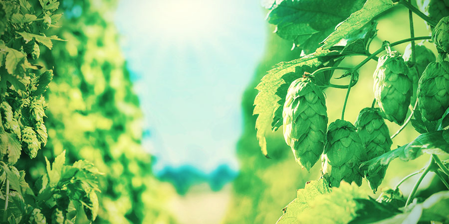 PRODUCING CBD FROM HOPS