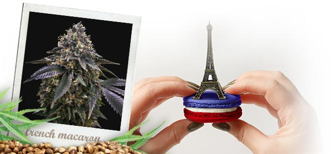 French Macaron (T.H.Seeds™)