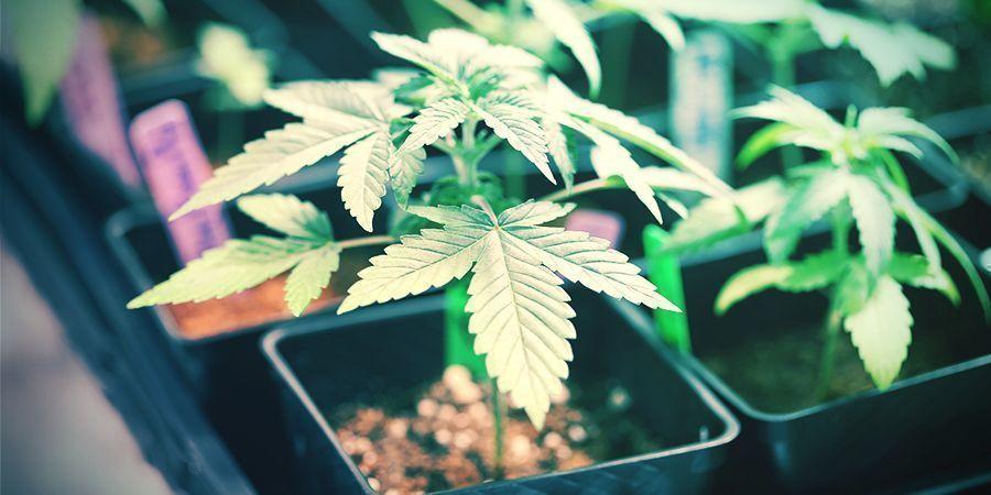 Small-scale Cannabis Breeding
