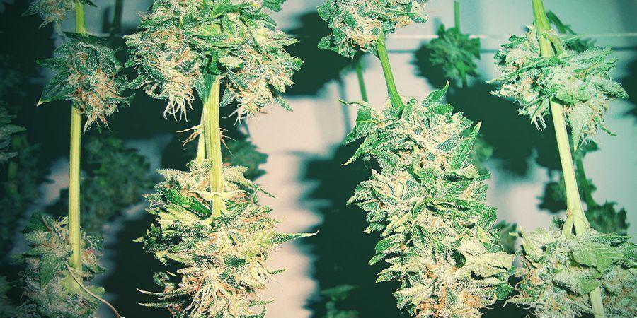 How To Avoid Moldy Cannabis