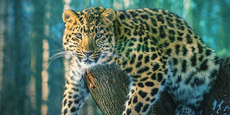 Jaguars That Love To Get High - Ayahuasca (Banisteriopsis Caapi)