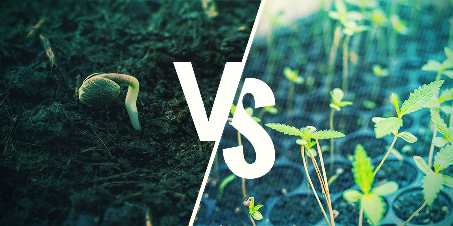Cannabis Seeds Vs. Clones: WHICH ONE SHOULD YOU CHOOSE?