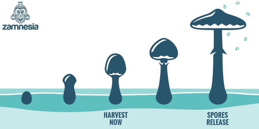 When To Harvest Magic Mushrooms?