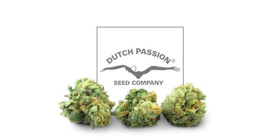 Durban Poison (Dutch Passion)