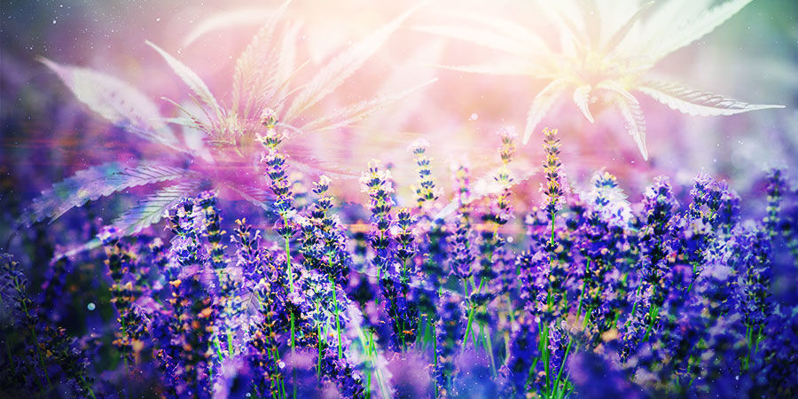 Cannabis & Linalool: How May You Benefit?