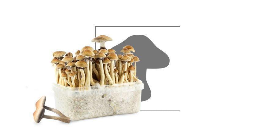 Magic Mushroom vp
