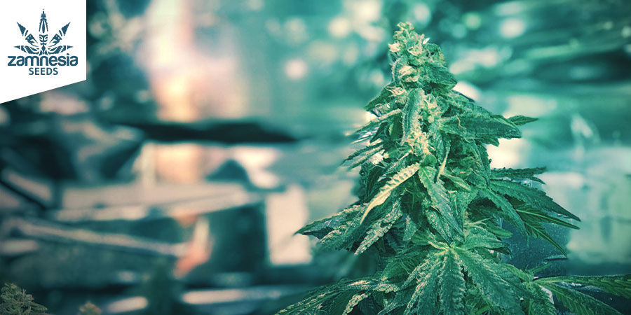 Amnesia Haze (Zamnesia Seeds) feminized
