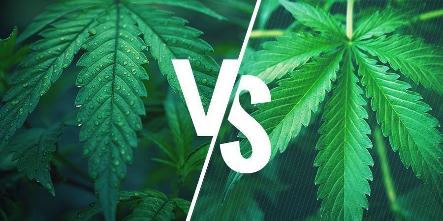 Indica Vs. Sativa — Picking The Right Strain For Your Cannabis Edibles