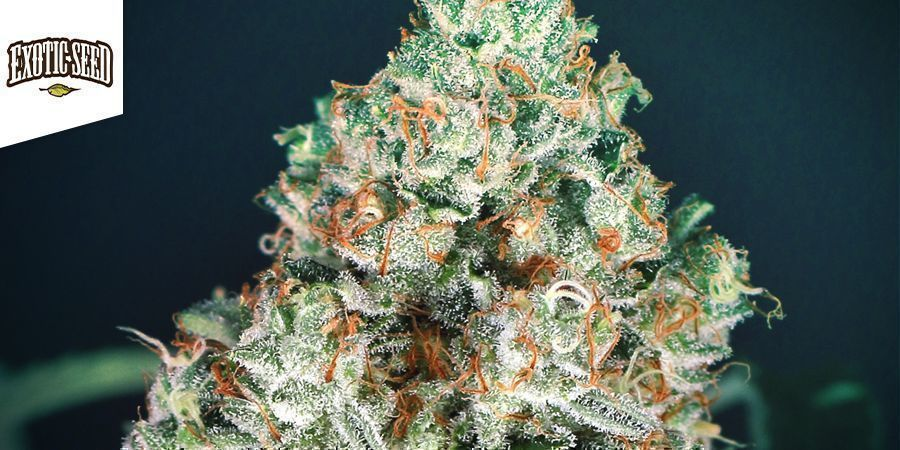 Zkittalicious (Exotic Seed)