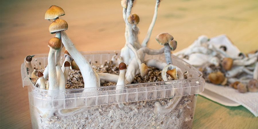 WHY DO MAGIC MUSHROOMS GROW ON THE SIDE OF A SUBSTRATE?