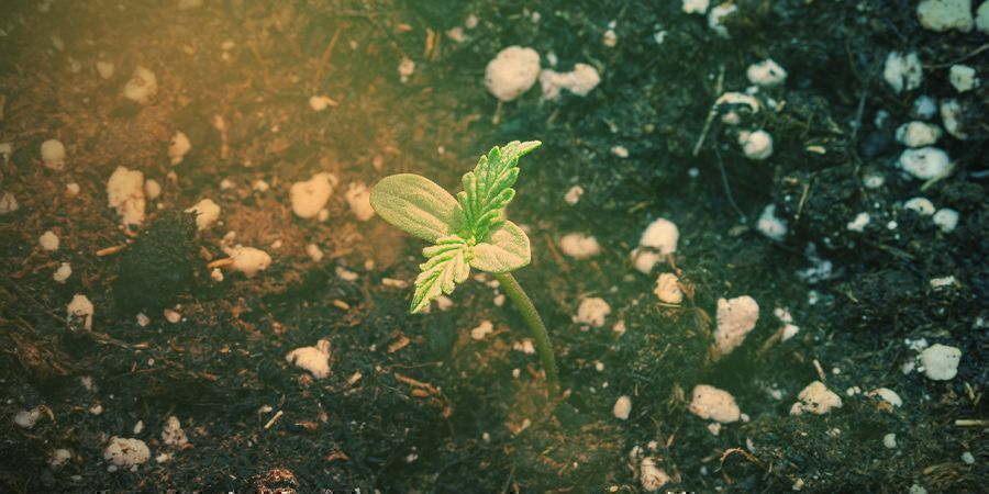 How To Grow Silver Haze