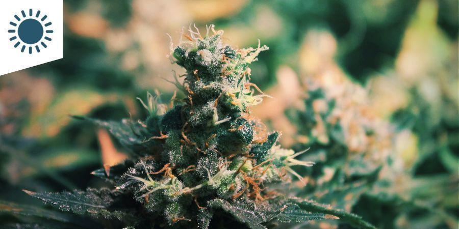 Best Cannabis Strains To Grow In A Mediterranean Climate