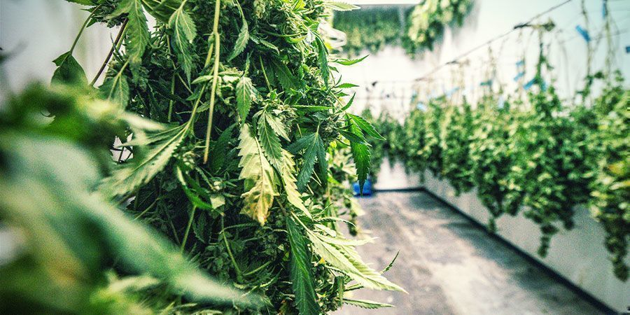 Dehumidifiers in the Cannabis Drying Room