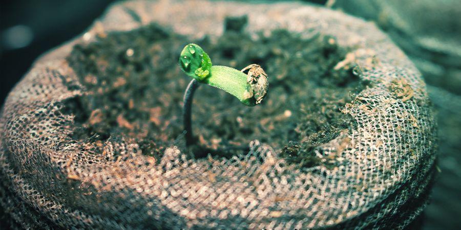 Can You Transplant Autoflowering Cannabis Seedlings?