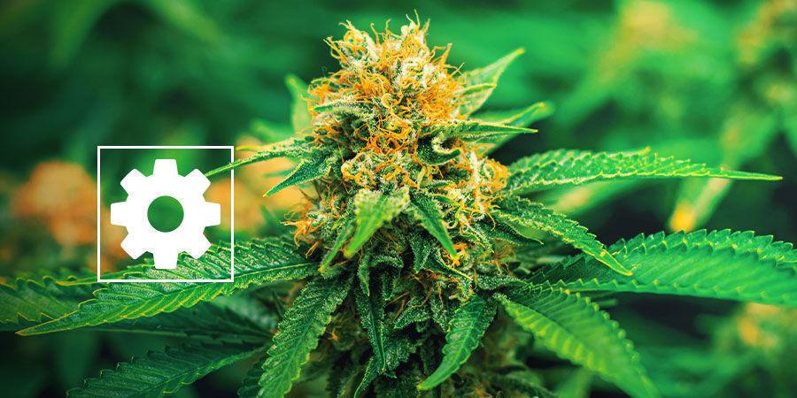 New Autoflowering Cannabis Strains - Royal Queen Seeds