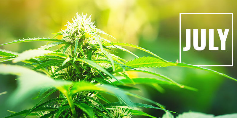 Control Cannabis Flowering With Light Deprivation: When to Start Light Deprivation?