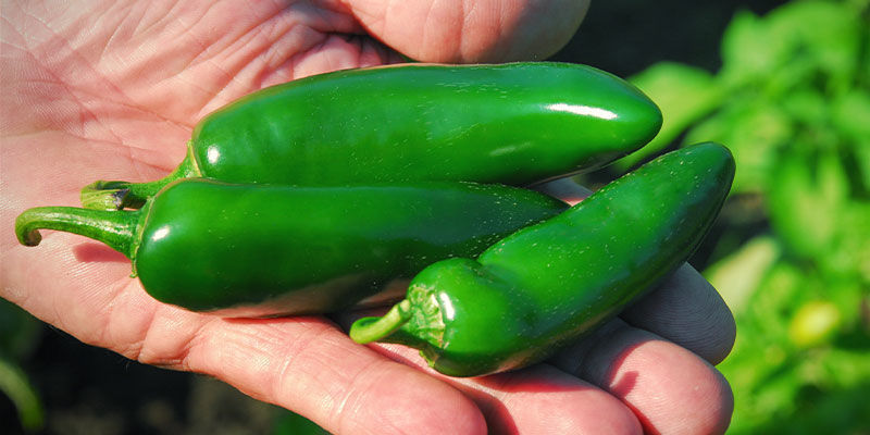How and When To Pick Jalapeños