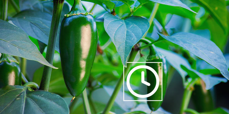 How Hot Are Jalapeño Peppers?