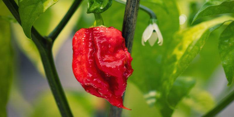 Hottest Peppers: Carolina Reaper