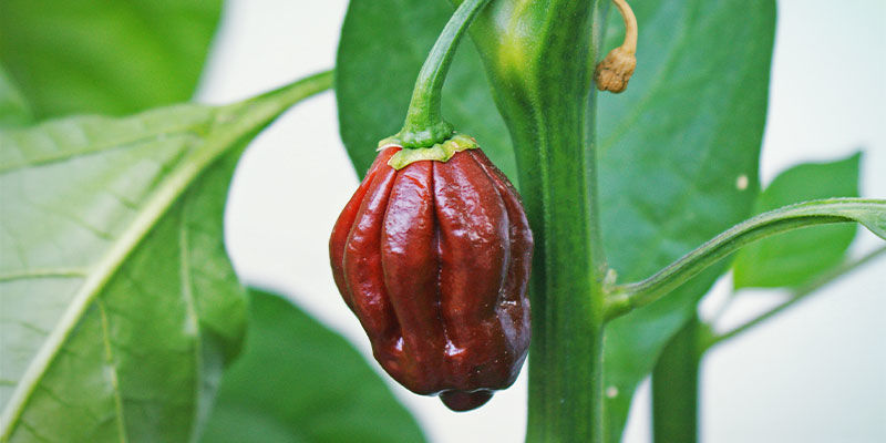 Hottest Peppers: Chocolate Bhutlah