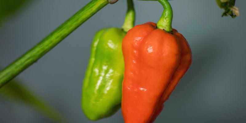 Hottest Peppers: 7 Pot Douglah