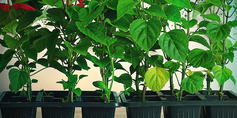 Propagating Salvia Divinorum from your cutting